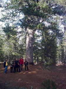 500-years old pine tree