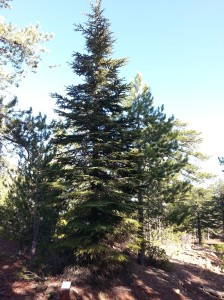 Cedrus brevifolia, the endemic Cyprus Cedar tree