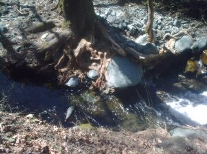 Tree with its roots exposed, by the river stream