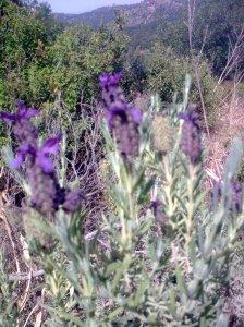 Lavender-Lavandula-myrophora-Mahairas-May15