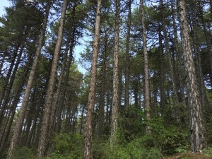 Prodromos7-tall-pine-trees