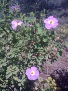 Rock-rose-xistarka-Mahairas-May15