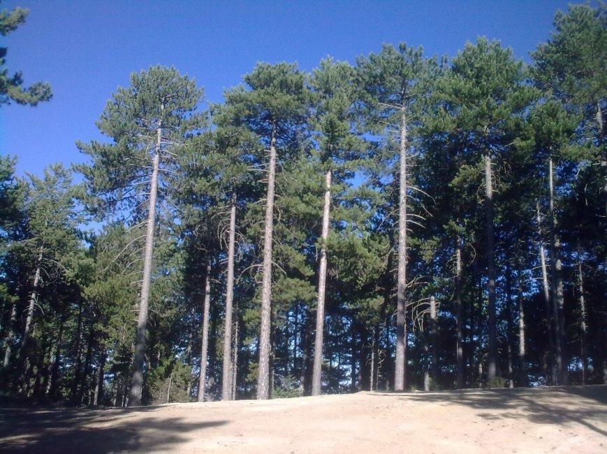 Black Pine along our path