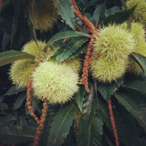 Chestnut fruits