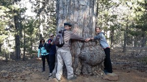 Embracing a 500-years-old pine tree