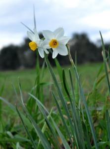 Narcissus-Ματσικόριδο