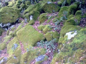 Carpet-of-moss