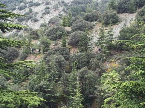 through the cedars