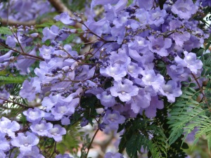 Jacaranda-tree-flowers-close-up