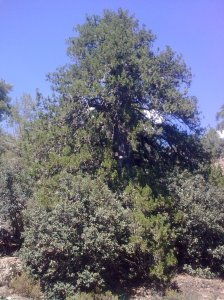 Juniper, 500 years, 16 metres, 142cm perimeter