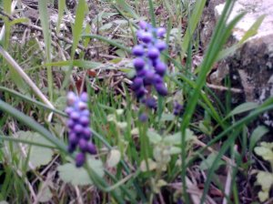 grape-hyacinth-flower