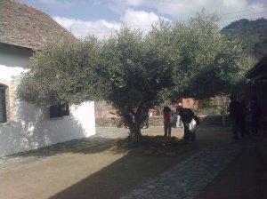 olive-tree-outside-metamorphosis-church-old-kakopetria